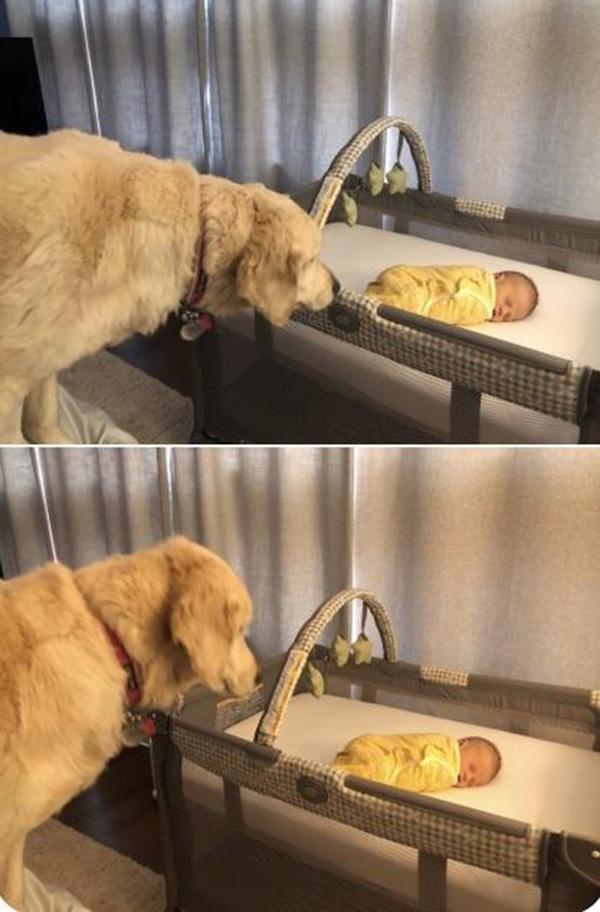 dog checks on baby