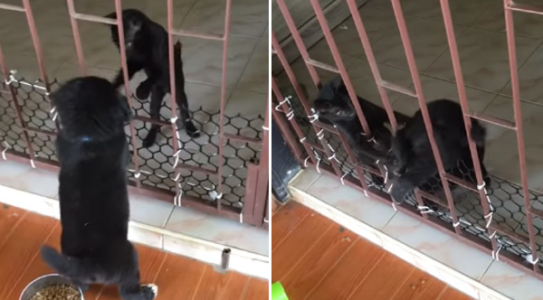 Cat Helps Struggling Puppy Get Through The Gate