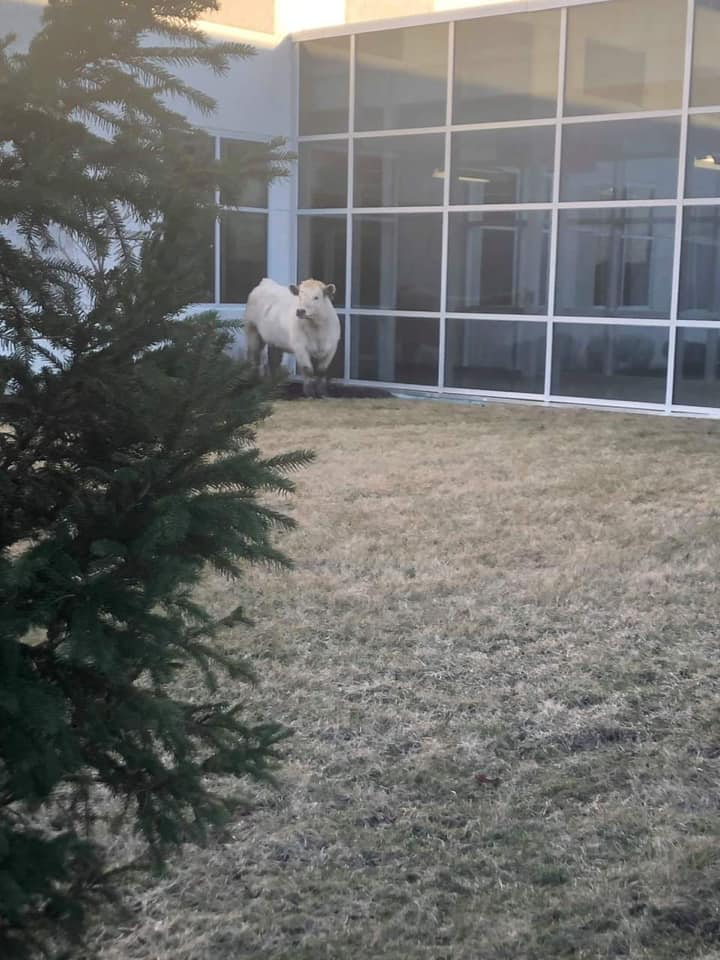 police find runaway cow at chic fila