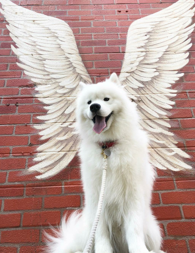 the holy samoyed