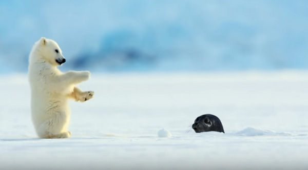 Image result for baby seal scares baby polar bear