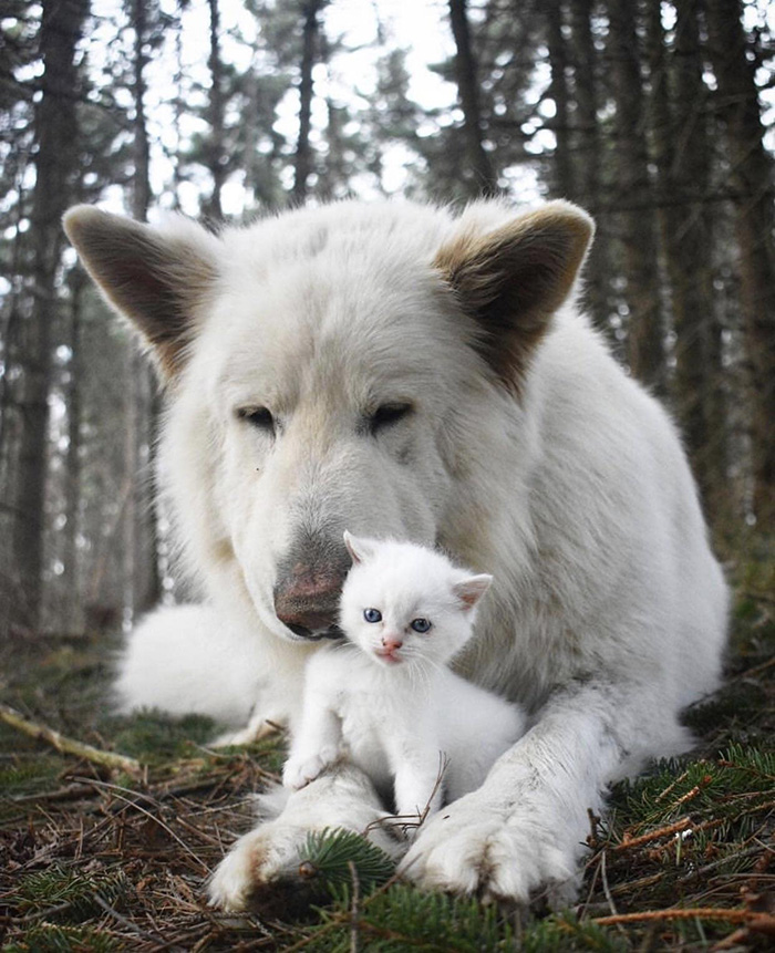 white german shepherd and kitten