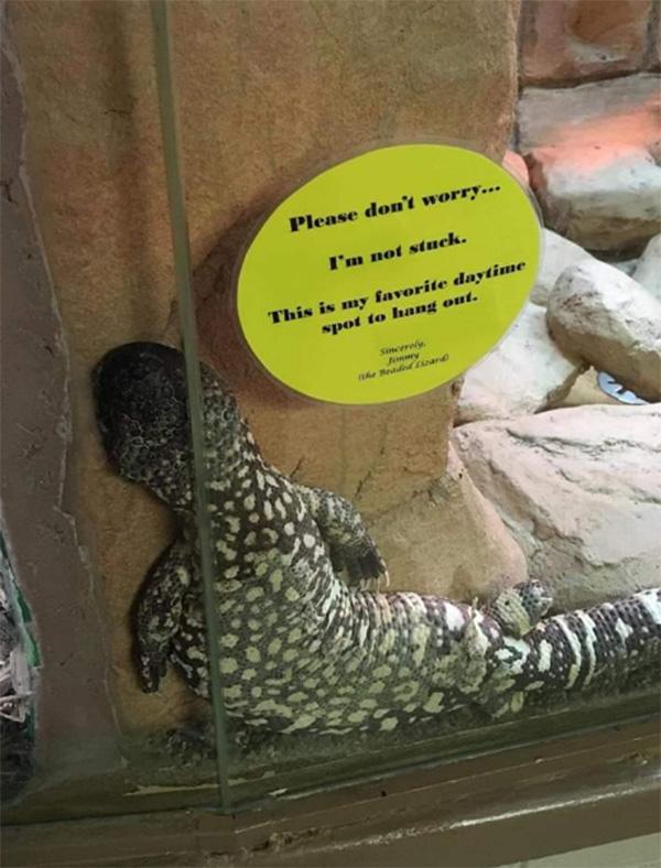 funny lizard stuck
