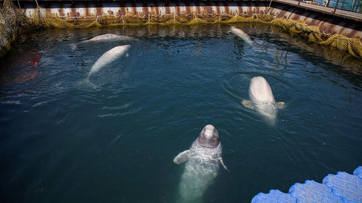 Russia to free the captive whales