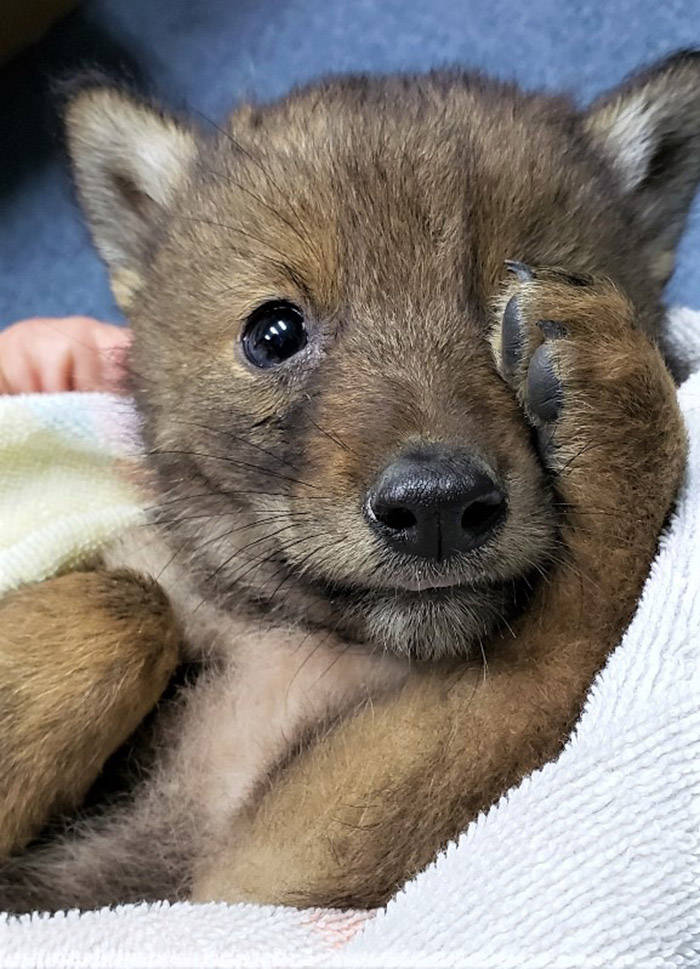 officer rescues coyote pup
