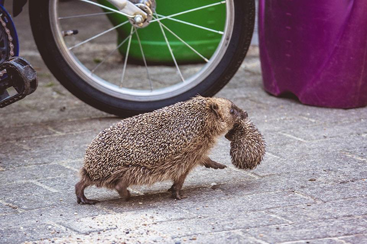 hedgehog mom and her baby