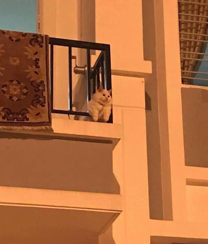 chonky cat
