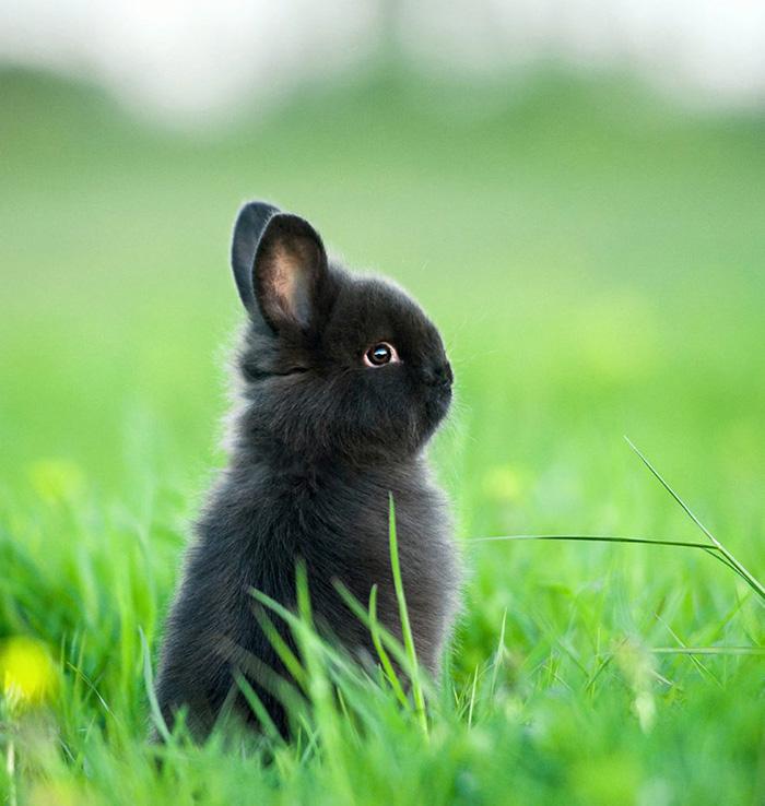 dwarf bunny