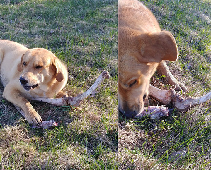 Bear Distracts Dog With Bones So He Can Rummage Through Trash
