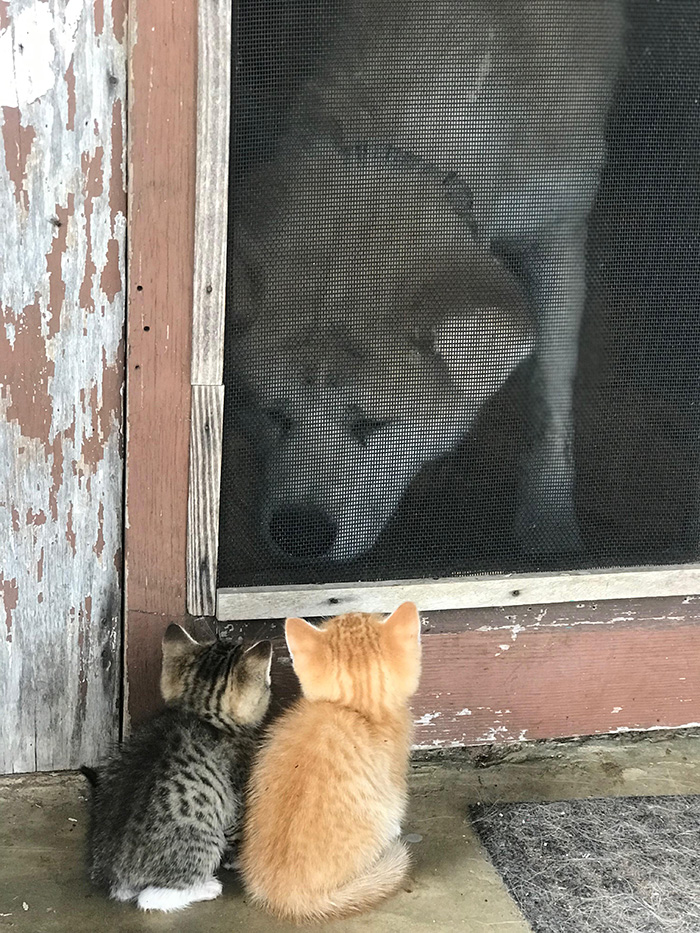 dog meets kittens