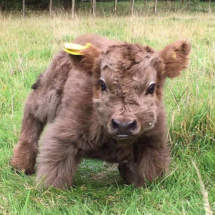 very cute highland baby cow
