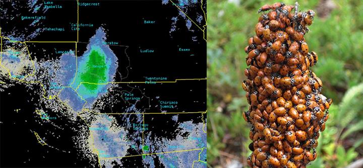swarm of ladybugs radar