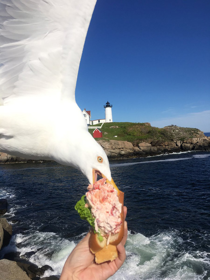 seagull steals lobster roll