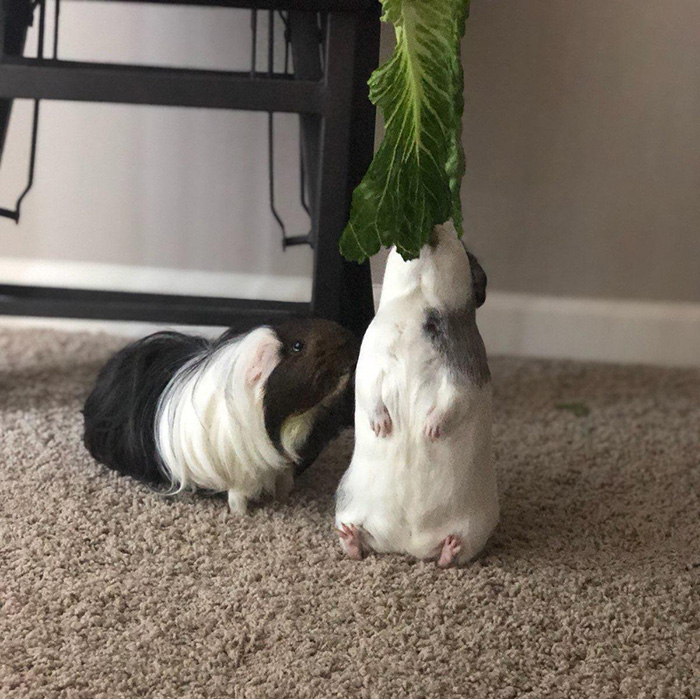 guinea pig sits down while eating