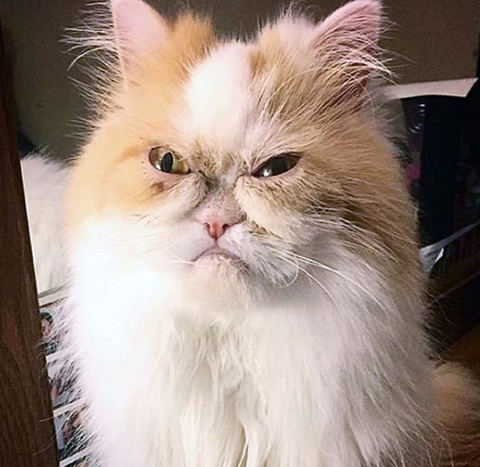 angry cat Louis