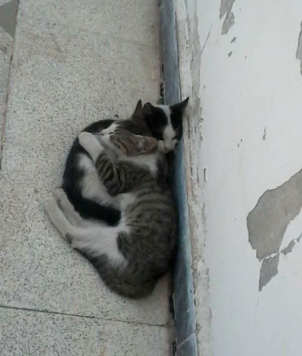 cat sneaks out to snuggle neighbor cat