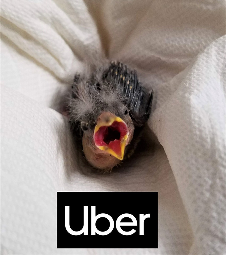 Man Finds Baby Bird But Is Intoxicated So He Has It Delivered To A Rescue Center In An Uber