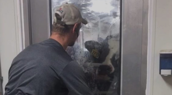Farmer Plays Peek A Boo With His Cow And The Cow Plays Back