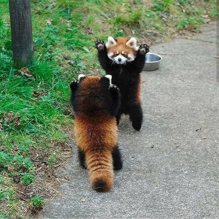 red panda stand off