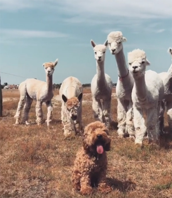 alpacas and dog