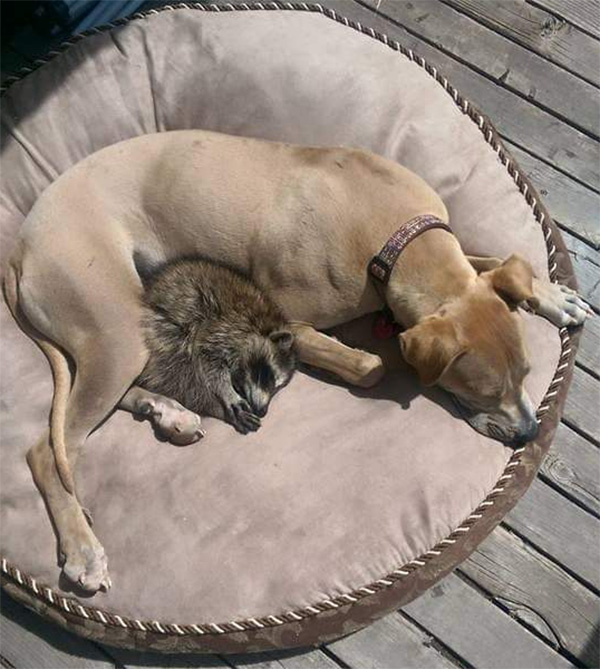 dog adopts raccoon