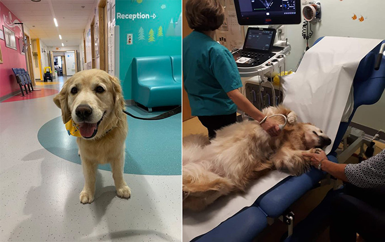 golden therapy dogs at childrens hospital