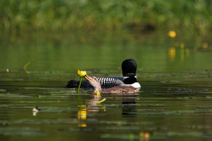 loon adopts duckling