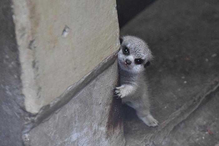 Photographer Captures The Most Adorable Photos Of A Baby Meerkat Llfep-baby-meerkat-3