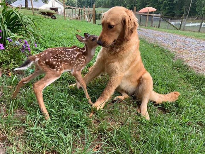 dog and baby deer