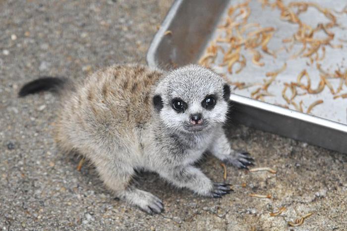 Photographer Captures The Most Adorable Photos Of A Baby Meerkat Ojah4-baby-meerkat-5