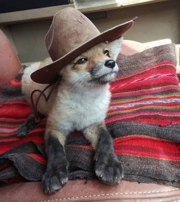 fox with a hat