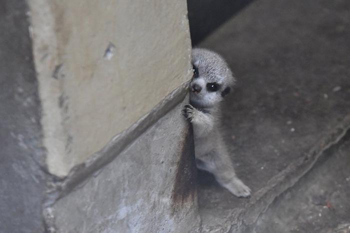 Photographer Captures The Most Adorable Photos Of A Baby Meerkat W61gw-baby-meerkat-4