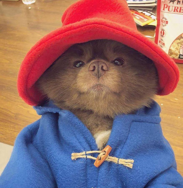 dog dressed up as paddington