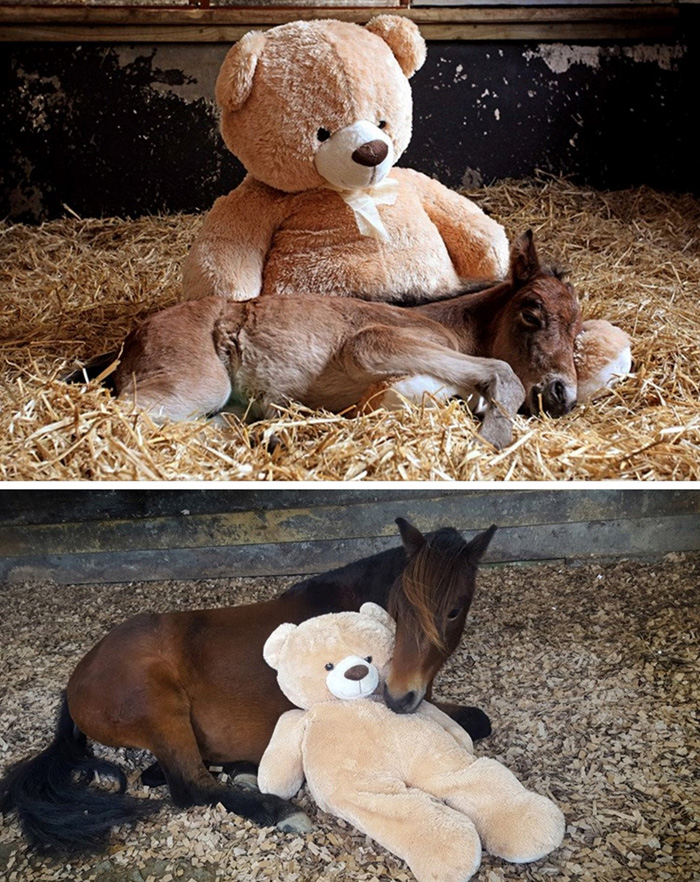 horse sleeps with teddy bear