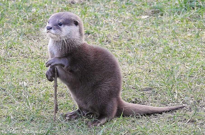 otter with a stick