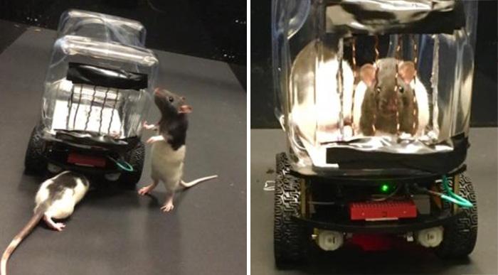 rats driving cars