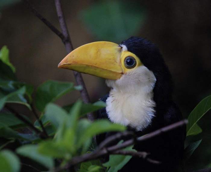 smiling baby toucan