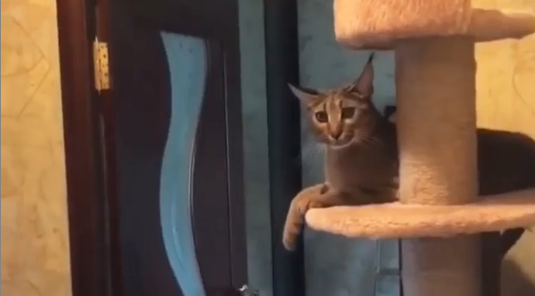 Comedian Adds Hilarious Voice Over To Cat Slapping People