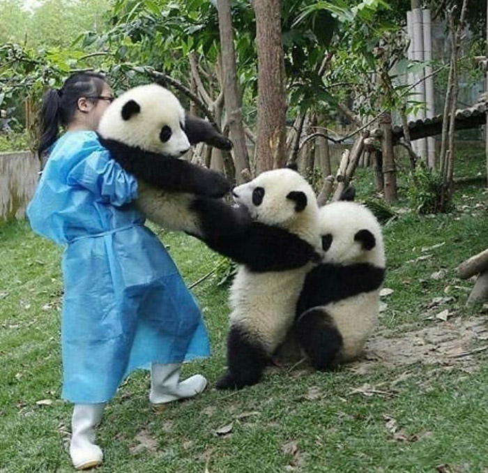 funny panda picture