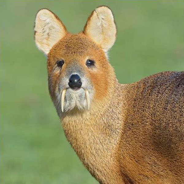 deer with fangs