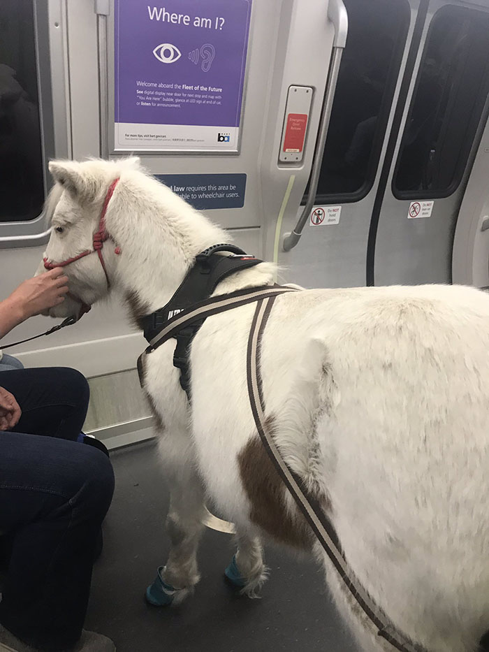 mini horse on train service animal