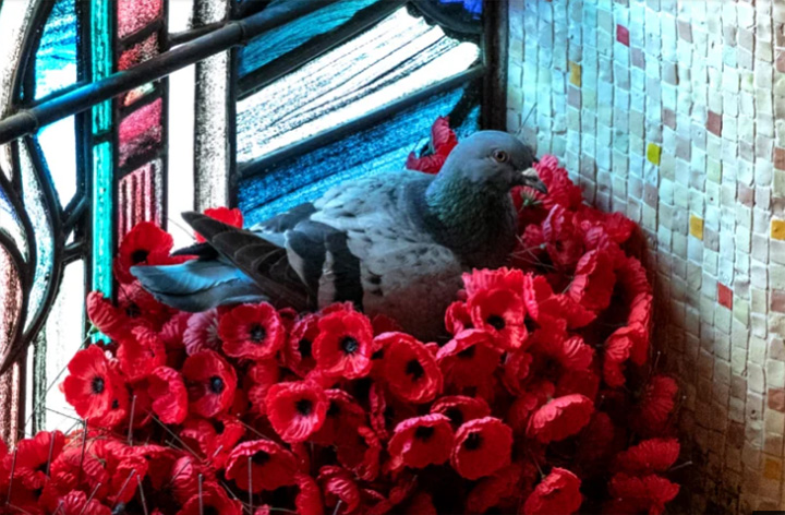 pigeon steals flowers to build home war memorial