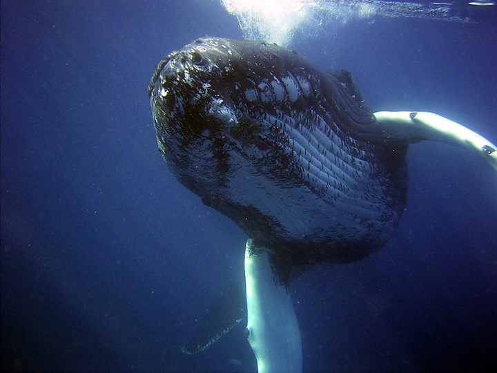 humpback whales thriving