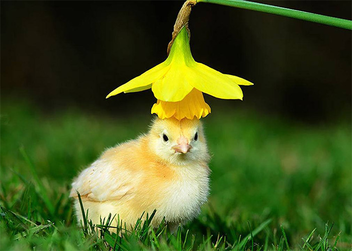 chick with hat