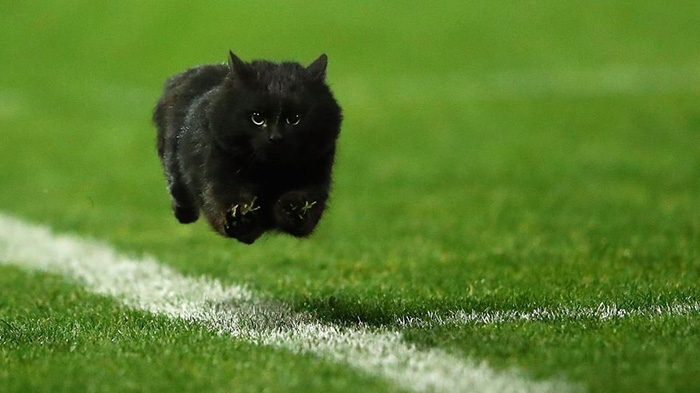 cat on football field