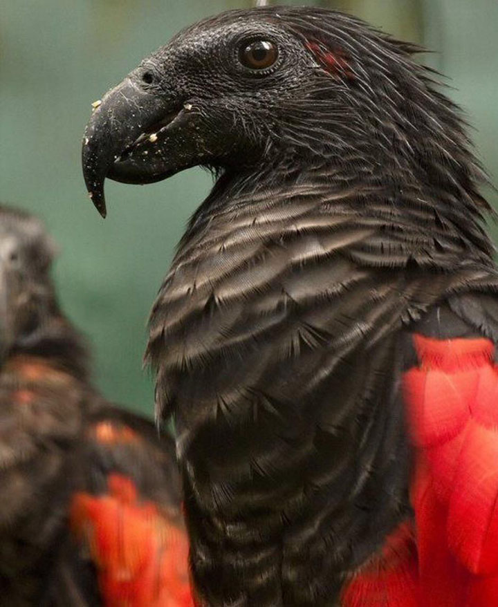 Meet The Famous 'Dracula Parrot' In All Its Glory