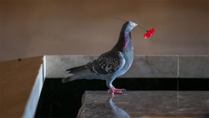 pigeon steals flowers to build home war memorial