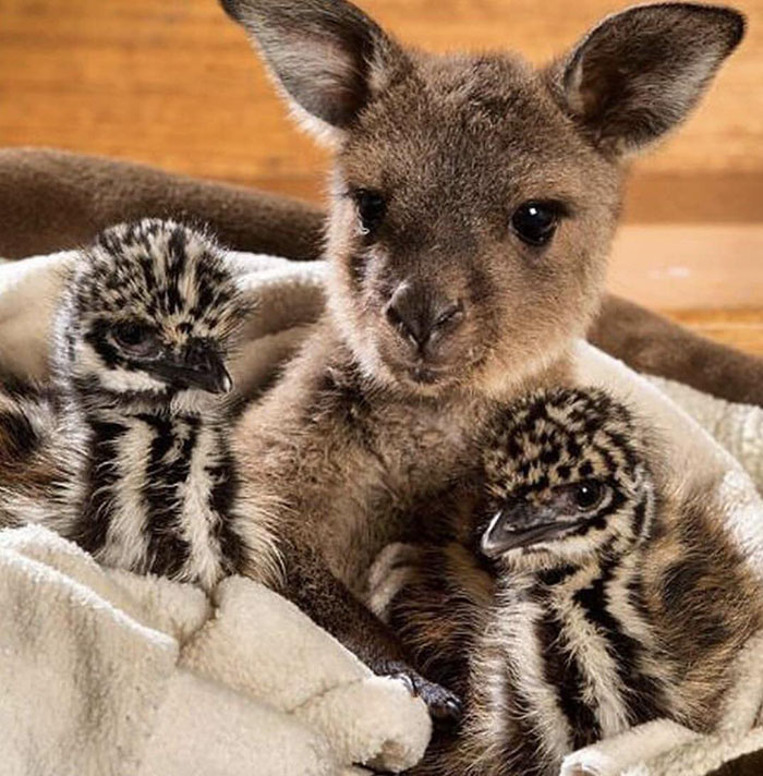 baby emus and kangaroo
