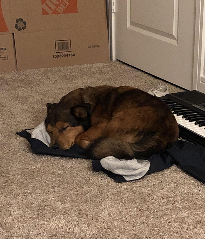 dog chooses to sleep on owners blanket