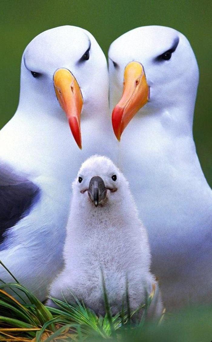 albatross family